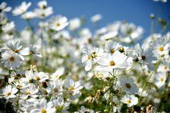 White flower. Many flowers and blue sky Royalty Free Stock Image