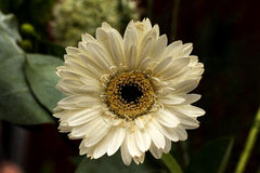 White flower. White marigold with Stock Images