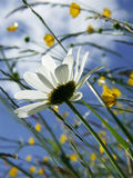 White flower in meadow. Close up on the bottom of a white flower in a meadow of yellow flowers royalty free stock image