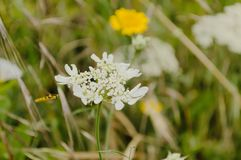 White flower on the meadow. Close up of some white meadow flower royalty free stock photos