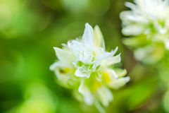 White flower Melampyrum nemorosum, closeup. Blur background Royalty Free Stock Image