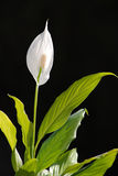 White flower, member of the lily family. A white flower with a single large white petal which wraps around the central stalk. A member of the lily family of Royalty Free Stock Photos