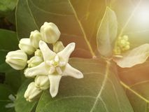 White flower, Milkweed. Picture with copy space and artificial light was added royalty free stock images