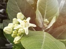 White flower, Milkweed. Picture with copy space and artificial light was added stock photo