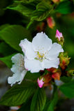 White flower of Mirabilis Jalapa Stock Images