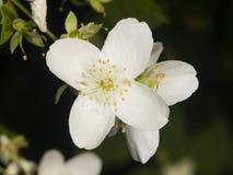 White flower on mock-orange shrub with bokeh background, macro, selective focus, shallow DOF Royalty Free Stock Photos