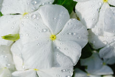 White flower with morning dew Royalty Free Stock Images