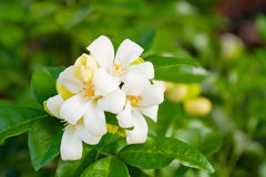 White flower Murraya paniculata Stock Photos