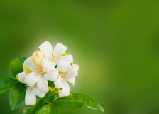 White flower Murraya paniculata Stock Photography