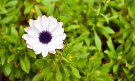 white flower named osteospermum ecklonis also called cape daisy with white petals and purple eye on a grass background stock photos