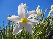 White flower narcissus against the sky and green leaves. stock images