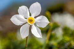 White flower Narcisus poeticus in the garden Royalty Free Stock Image