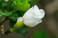 White Flower in nature. Crepe Jasmine or East Indian Rosebay Royalty Free Stock Images