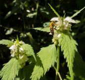 White flower Nettle and Honey bee Stock Image