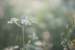 White flower on nice green bokeh and natural landscape in sunset lights. White flower on nice green bokeh and natural landscape in warm sunset lights stock photography