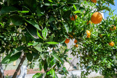 White flower and oranges. White flowers and oranges in orange tree Royalty Free Stock Photos