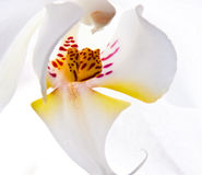 White flower of orchid Stock Photos