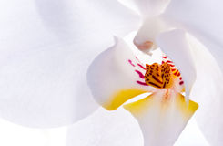 White flower of orchid Royalty Free Stock Photography