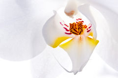 White flower of orchid, macro Stock Image