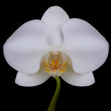 White flower of Orchid. Stock Photography