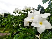 White Flower. Outdoor royalty free stock image