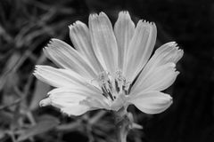 White flower over black background. Black and white Royalty Free Stock Images