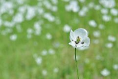 White flower Papaver dubium subsp. austromoravicum Stock Photography