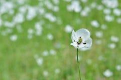 White flower Papaver dubium subsp. austromoravicum Stock Photography