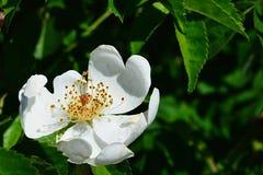 White flower of park bush rose Rosa Inodora. In spring afternoon sun Royalty Free Stock Photo
