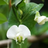 White flower of a pea on the vine in Spring Royalty Free Stock Photos