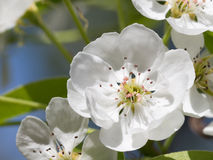 White flower pear Royalty Free Stock Photo
