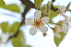 White flower pear pink pistils and stamens spring bloomed in the garden. White flower pear pink pistils and stamens spring bloomed in the garden Royalty Free Stock Photos