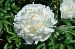 A white flower of peony Royalty Free Stock Image