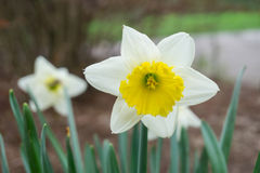 White flower petals daffodils. Springtime white flower center focus blur background Stock Photos