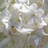 White Flower Petals Standing Close Together. In Sunshine Stock Photo