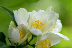 White Flower Buds with Yellow Anthers. White flower petals and yellow anthers, family of flowers Stock Image