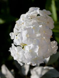 White flower Phlox close up Stock Image