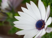 White flower Osteospermum ecklonis with bokeh. The photo shows a white flower with a blue center royalty free stock image