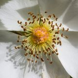 White Flower Pollen Stock Photos