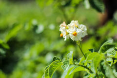 White flower of a potato on a bush. Green blurred background Royalty Free Stock Image