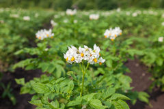 White flower of potato plant Royalty Free Stock Photo