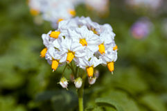 White flower of potato plant Stock Image