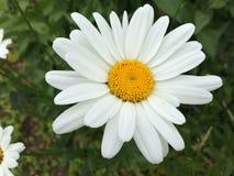 White flower. White pretty rose flower Royalty Free Stock Photos