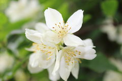 White Flower. Pretty white flower taken in the spring at a National Trust property Royalty Free Stock Photos