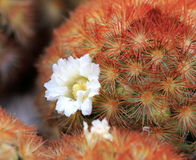 White flower of prickly pear Stock Photography
