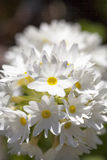 White flower of  Primula denticulata in the garden Stock Photography