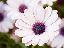White flower Royalty Free Stock Photos