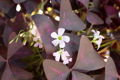 White Flower with Purple Leaves Royalty Free Stock Photography