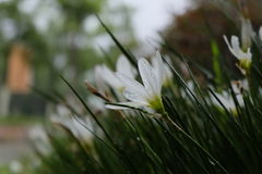 White pure flower in the rain drop Stock Photography