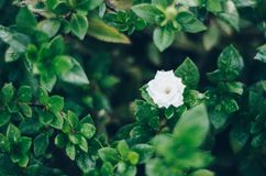 White flower in the rain. With leafs Royalty Free Stock Photography